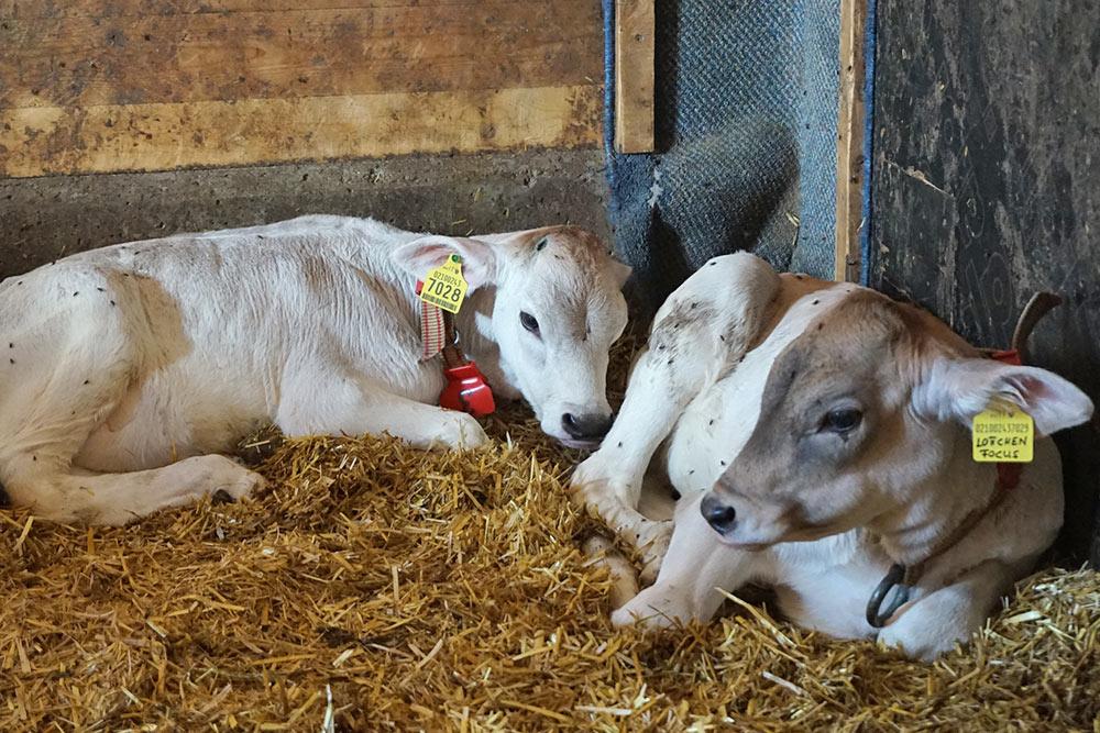 animali-maso-agriturismo-wibmerhof
